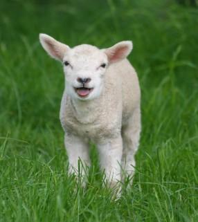 Sheep,_Stodmarsh_6